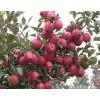 供应烟台红富士苹果苗、烟富3号、烟富6号、烟富8号、烟富0号