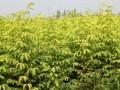 金叶水杉1