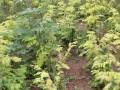 金叶水杉树苗