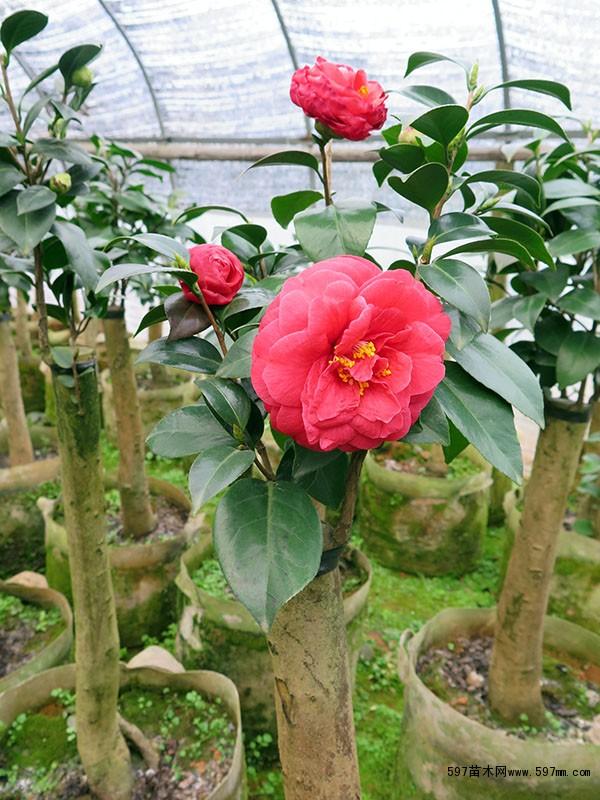 茶花盆栽价格 花卉 苗木报价
