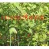 出售钙果苗//钙果苗价格//钙果树苗价格