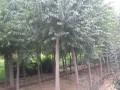 丝棉木 3-8公分
