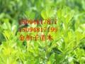 金柏子瓜子黄杨