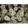 低价出售大滨菊种子