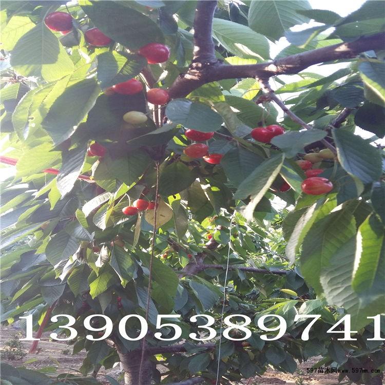 拉宾斯樱桃苗=拉宾斯樱桃树苗=果子深红色味甜