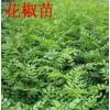 花椒苗-50公分花椒苗-0.5公分花椒苗-花椒苗价格-花椒苗