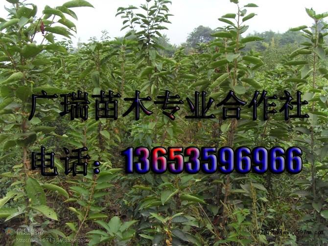 供应4公分樱桃树苗 5公分樱桃树价格图片