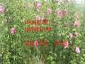 优质木槿树苗