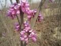 紫荊花 叢生紫荊
