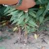 桃樹苗批發   現貨桃樹苗供應  桃樹苗新品種