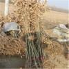 嫁接板栗苗品种  泰山板栗苗批发  红光板栗苗种植