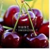 红灯樱桃苗|供应红灯樱桃苗|红灯樱桃苗价格