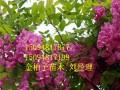 长期供应香花槐