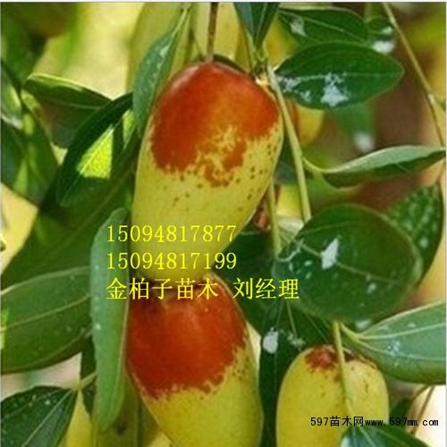 长期供应小枣树苗 专业培育小枣树苗基地