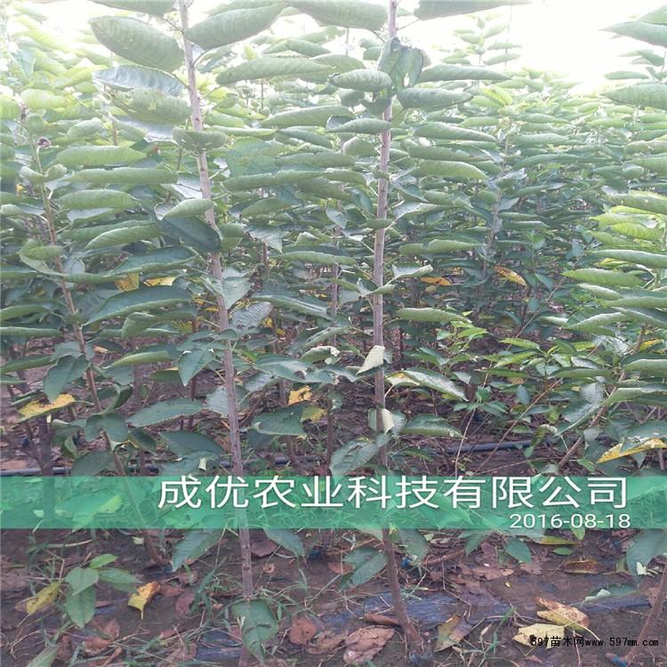 三公分樱桃苗多少钱一株 樱桃树苗管理技术 樱桃苗种植技术图片