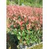 红叶石楠袋苗、红叶石楠容器苗、红叶石楠树、红叶石楠大杯苗