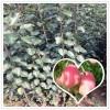 红星苹果苗批发 水果树苗 果树苗木 适应性强  果大皮薄