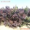山东红栌树苗价格