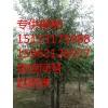 济南专供柳树 柳树树苗 毛白杨 榆树2-30公分价格最新报价