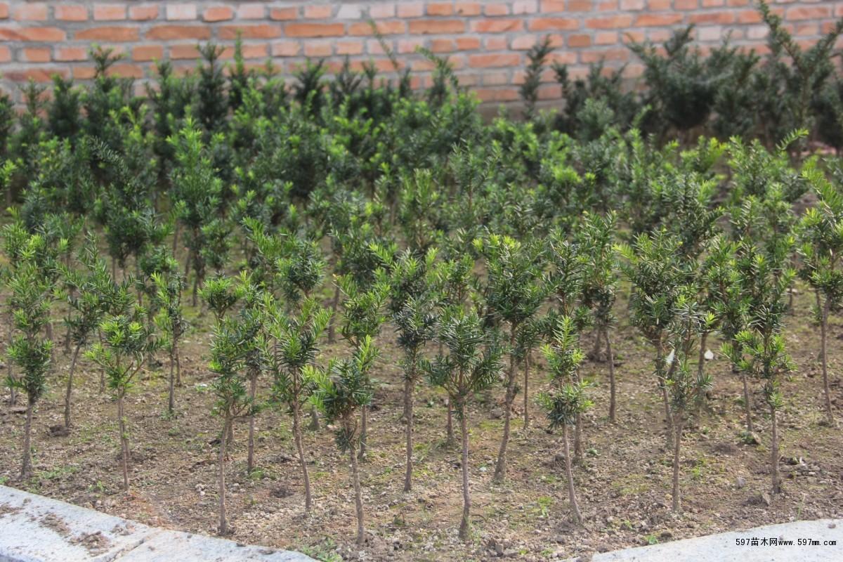 红豆山庄现繁育的红豆杉品种有:绿绒球,短叶球杉,多豆多头杉.