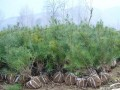 1.5米黑松树苗