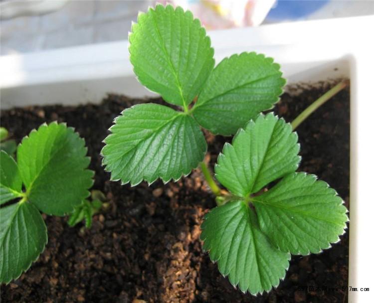 1.2 冷藏关反季节栽培的苗为抑制苗,要进行较长时期的植株冷藏,因此要选择符台质量要求的壮苗,并适时(12月中、下旬)挖苗人库冷藏。挖苗要少伤根系,挖起后把土抖落,如果土质太牯重不易抖落,可用水清洗后晾干,摘除老叶,留下展开叶3片,然后装箱。在箱内先铺塑料薄膜或报纸防止秧苗干燥,每箱4OO一800苗不等;把根部安放在内部,捧紧排实,整箱装满,以用手按一下略有弹性摩为度。把苗箱内的塑料薄膜或报纸密封好,然后盖上箱盖进行冷藏 冷藏库的室温以5 进行预冷,5d后控制恒温在O一一2 ,并定期检查冷藏情况