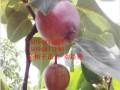 专业培育红啤梨树苗