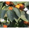 供应占地柿子树!3公分柿子树!5公分柿子树!10公分柿子树