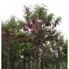供应香花槐,红花槐,丛生蒙古栎,丛生五角枫,丛生朴树