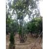 供應叢生蒙古櫟,叢生五角楓,叢生樸樹,叢生國槐