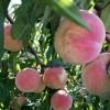 3公分大桃树苗价格4公分5公分6公分占地大桃树货源充足上货快