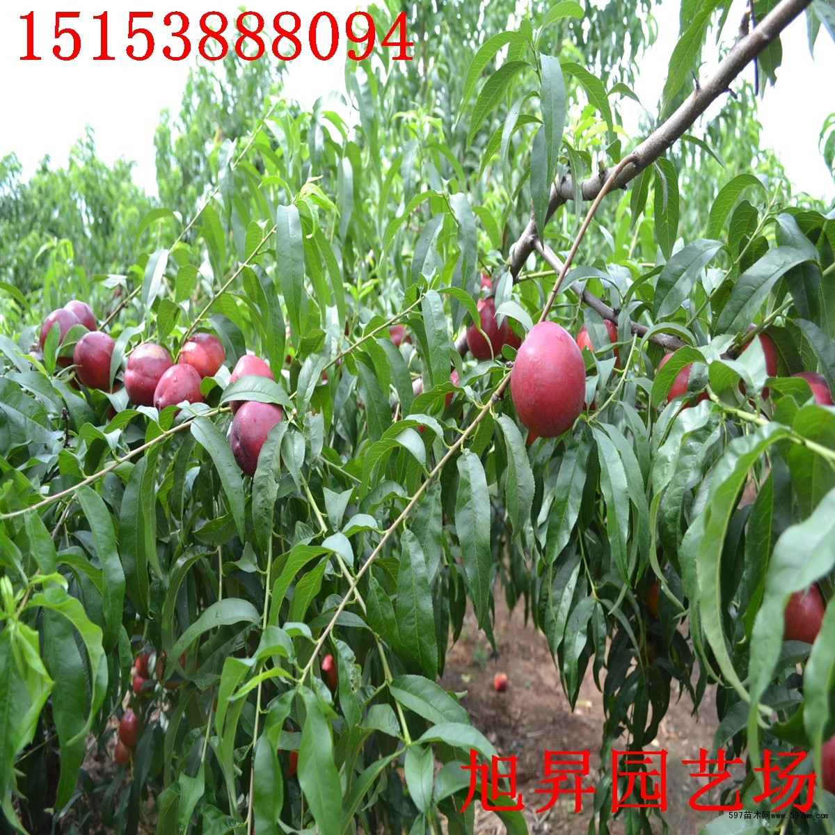 桃树般多整成自然杯状形树冠和自然开心形树冠.