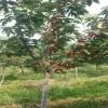 黑珍珠樱桃树苗车厘子樱桃苗 3公分4公分5公分大樱桃树苗