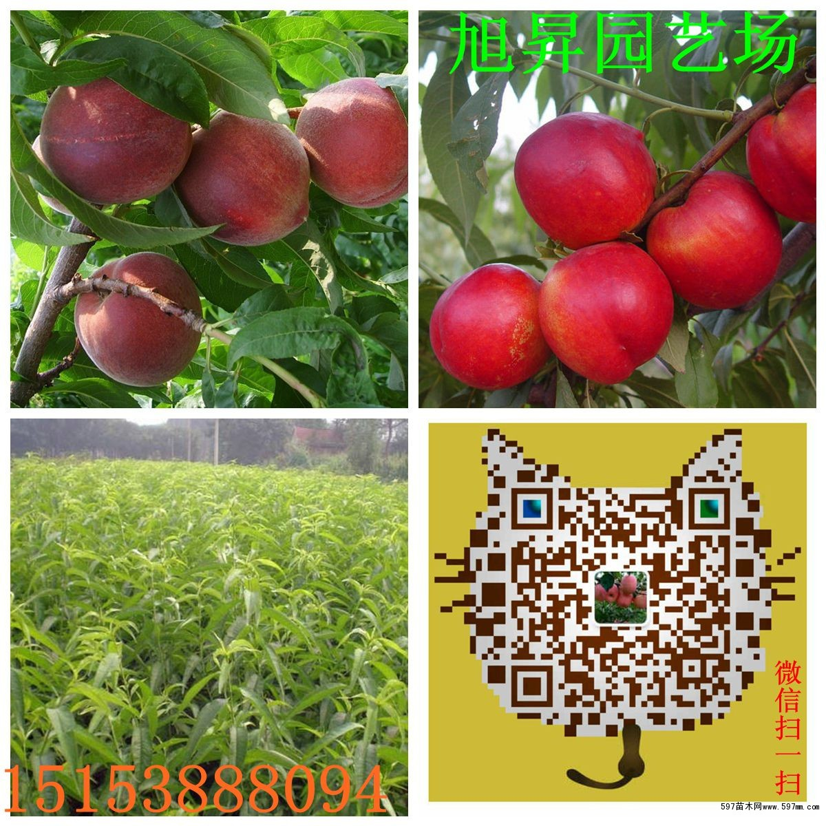桃树苗图片