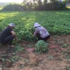 2017年红颜草莓苗 红颜草莓苗品种 红颜草莓苗基地