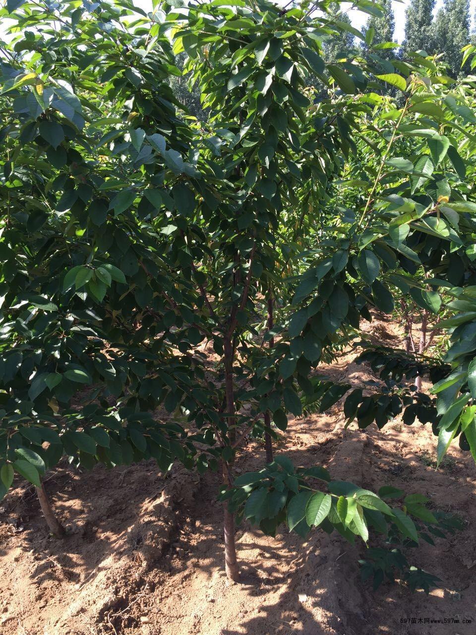 6公分樱桃苗,7公分樱桃树苗,8公分大樱桃树苗价格多少