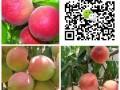 桃树苗销售厂家