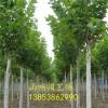绿化苗木批发 哪里有3公分法桐树苗 3公分法桐苗多少钱
