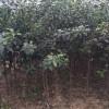 哪里卖柱状苹果苗、柱状苹果树苗多少钱一棵、柱状苹果苗基地