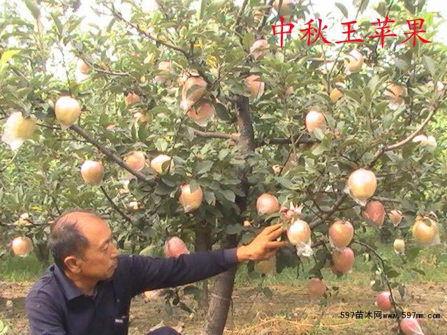 红富士苹果树苗新品种