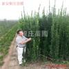 供應山東北海道黃楊價格 2米不脫腿北海道黃楊價格