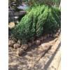 刺柏1.5米高价格,刺柏最新报价,刺柏基地,刺柏工程苗