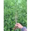 水腊50公分高,水腊基地,绿篱水腊工程苗适应新疆种植