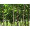 火炬树价格—火炬树多少钱—哪里供应4公分5公分6公分火炬树