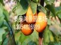 翠冠梨树苗