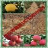富士王苹果苗价格 供应富士3号苹果苗 烟台红富士6号8号