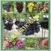3公分葡萄苗哪里有3公分葡萄树苗结多少果3公分结果葡萄树价格