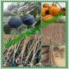 供应次郎柿子苗价格 次郎柿子苗销售基地 新次郎甜柿子苗