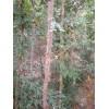 山东皂角树产地,12公分皂角树价格,皂角苗大量供应