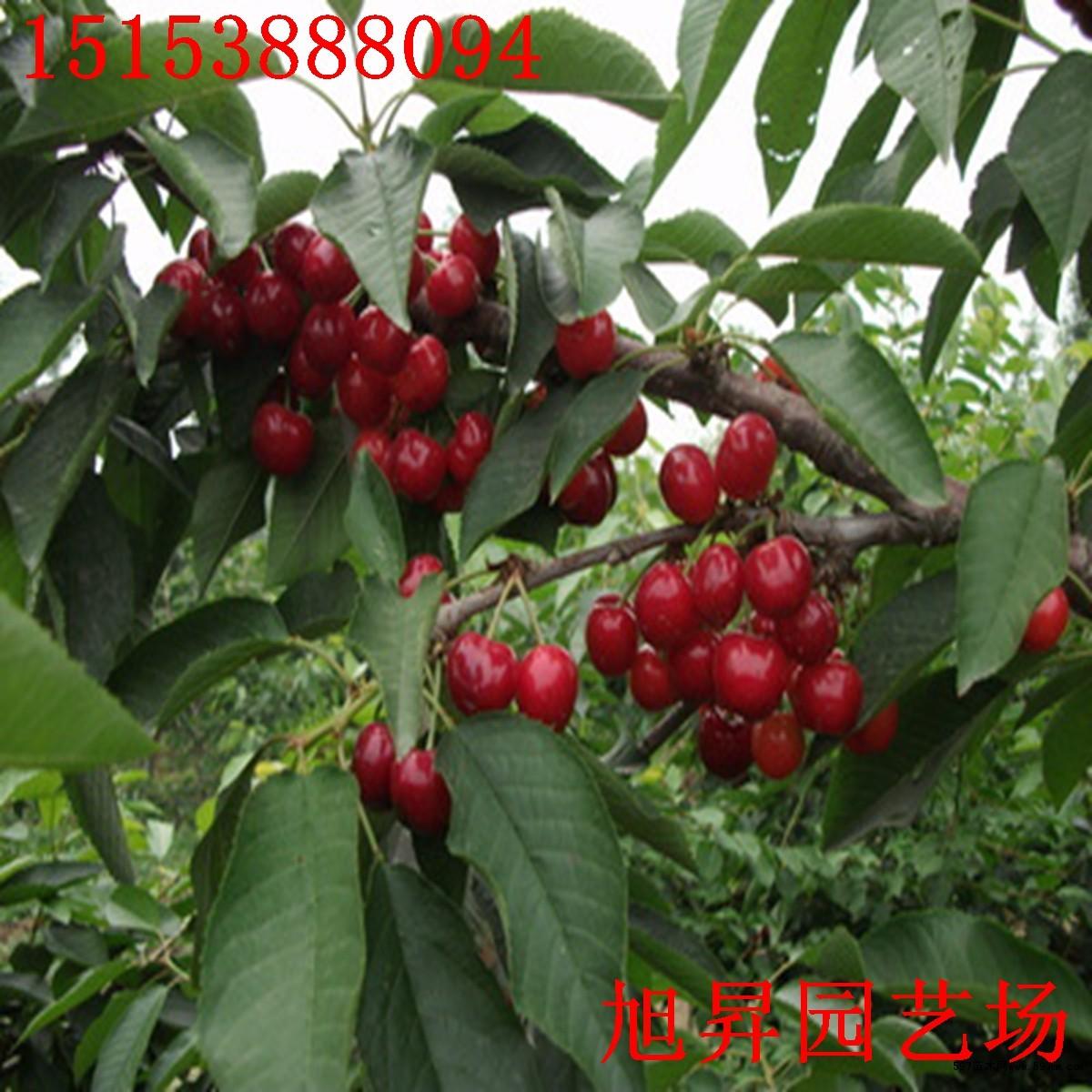 玛瑙红樱桃树苗货源地